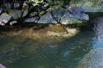 Фото 7. А это лосось идёт на нерест