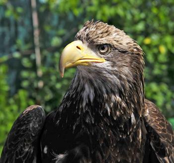 Фото 15. В роще, рядом с городом, удалось сделать портрет орла