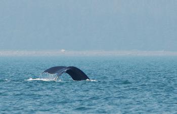 Фото 25. Серый кит помахал нам хвостом